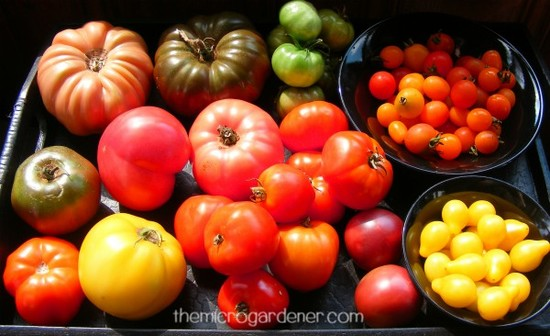Tomatoes - surprising facts you may not know